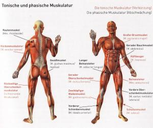 TonischePhasische Muskulatur